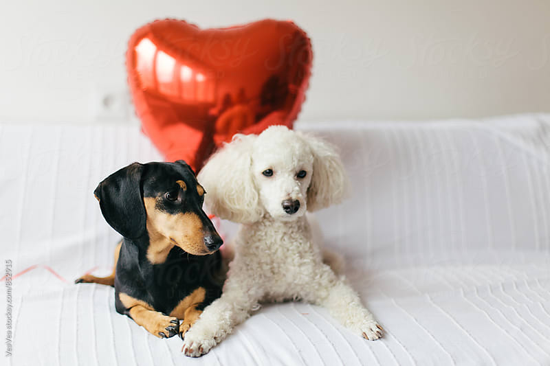 Two cute dogs sitting on a white couch by VeaVea for Stocksy United