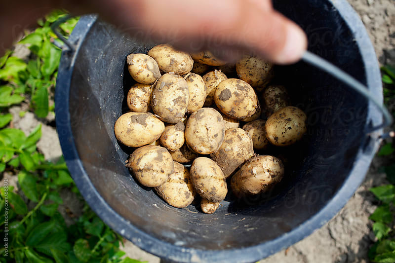 Someone holding freshly harvested potatoes in a bucket by Ivo de Bruijn for Stocksy United