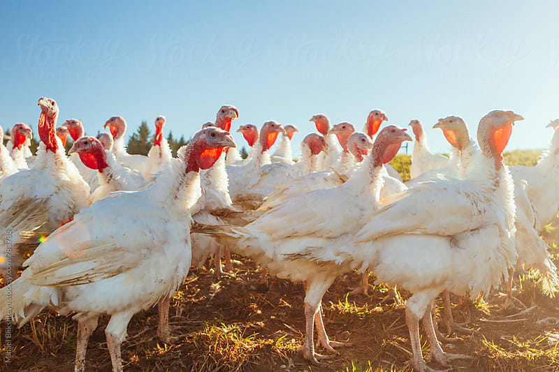 Low-angle view of a free-range, pasture-raised gang of turkeys by Mihael Blikshteyn for Stocksy United