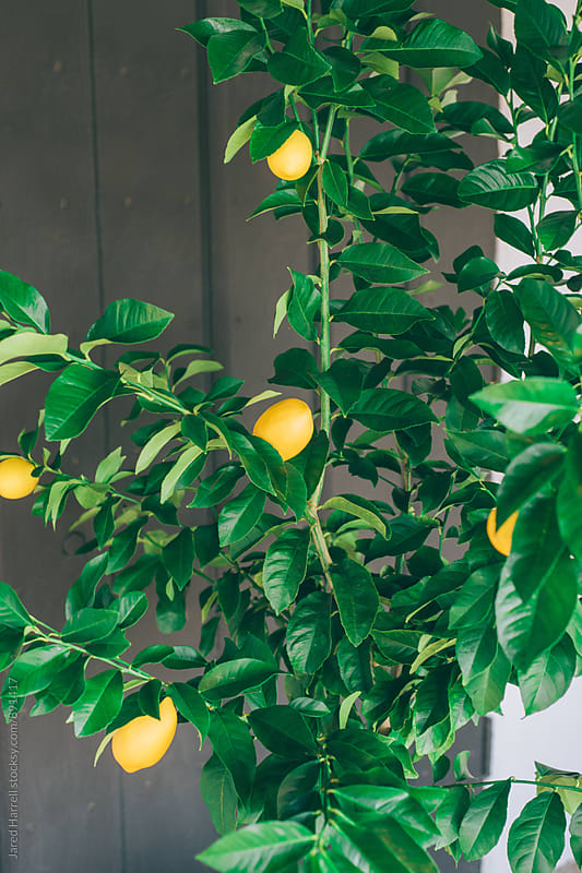Lemon Tree is Southern California by Jared Harrell for Stocksy United