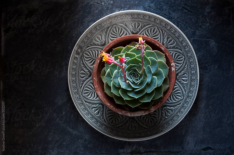 Pot Plant Echiveria Succulent by Nadine Greeff for Stocksy United