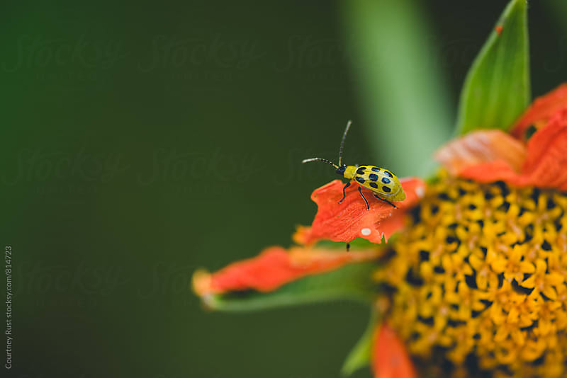 Cucumber bug on a torch flower by Courtney Rust for Stocksy United