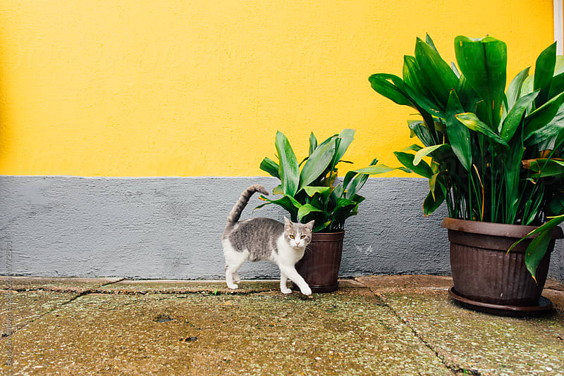 Cat passing by the pot with flowers by Boris Jovanovic for Stocksy United