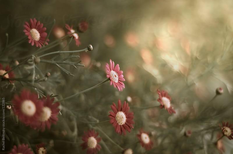 Pink daisy flowers on a pale green shrub by Rachel Bellinsky for Stocksy United