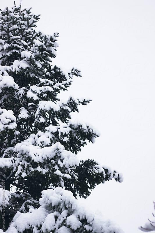 Snow tree by Jovana Rikalo for Stocksy United