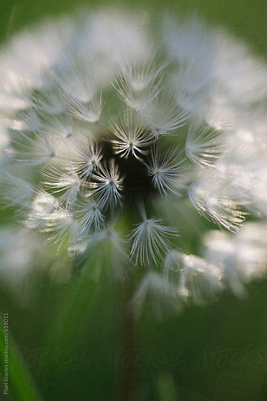 Dandelion macro by Pixel Stories for Stocksy United