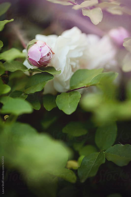 Pale pink rosebud amongst flowers and leaves on the bush by Laura Stolfi for Stocksy United
