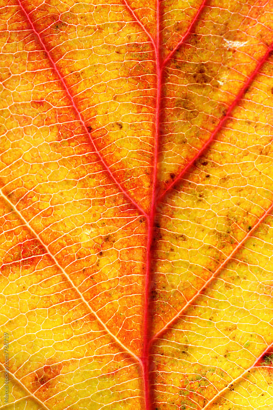 Macro photo of a beautiful autumn leaf changing colors by Marcel for Stocksy United