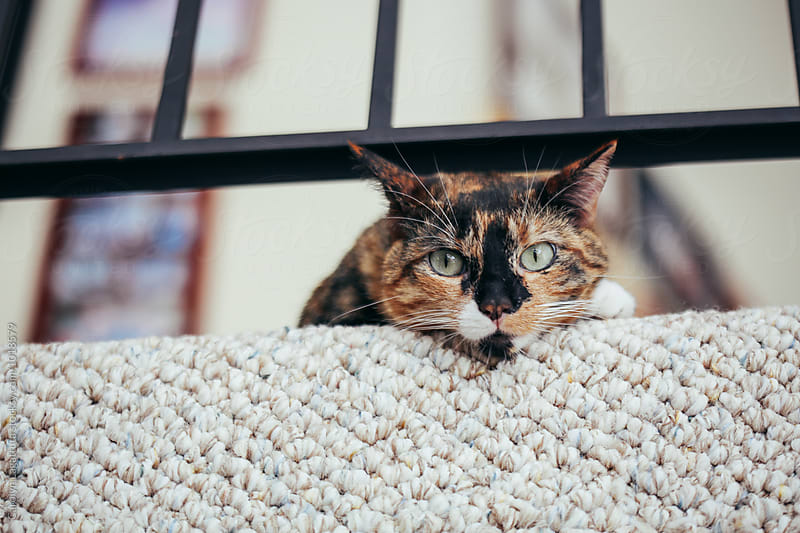 Calico cat looking at the camera by Carolyn Lagattuta for Stocksy United