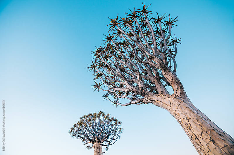 Namibian Quiver trees reaching into the sky by Micky Wiswedel for Stocksy United