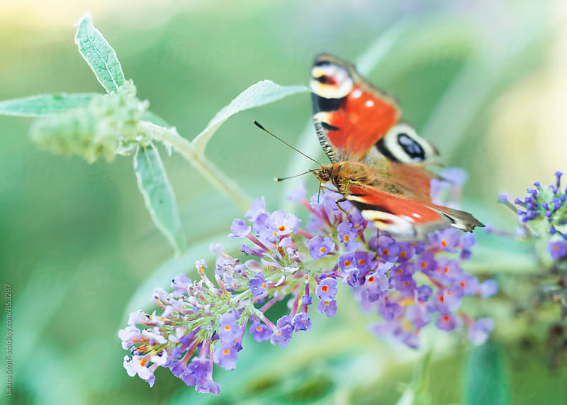 Extreme close up of butterfly on spiked Buddleja inflorescence in summer day by Laura Stolfi for Stocksy United