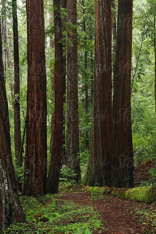 California Redwoods by Paul Tessier for Stocksy United