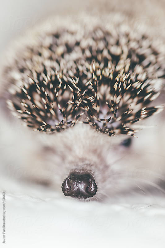 the little hedgehog on the bed by Javier Pardina for Stocksy United