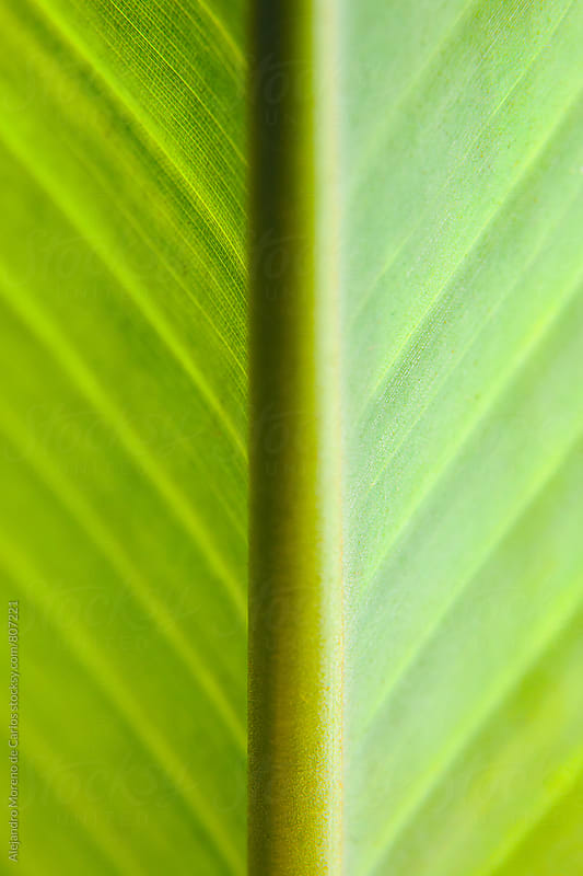 Close up of the inside of a green leaf by Alejandro Moreno de Carlos for Stocksy United