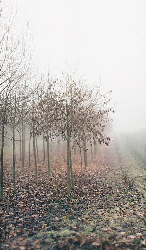 Little leafless trees in row in the fog  by Laura Stolfi for Stocksy United