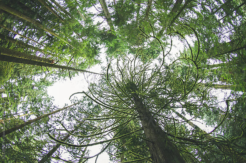 Looking up at the trees in a coastal temperate rainforest in Vancouver Island. by Robert Zaleski for Stocksy United