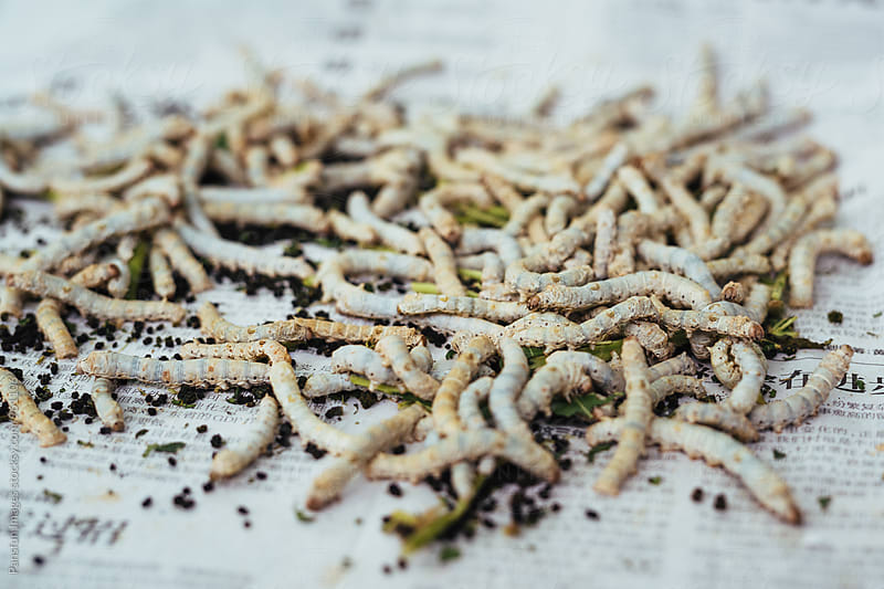 Silk worms by Pansfun Images for Stocksy United