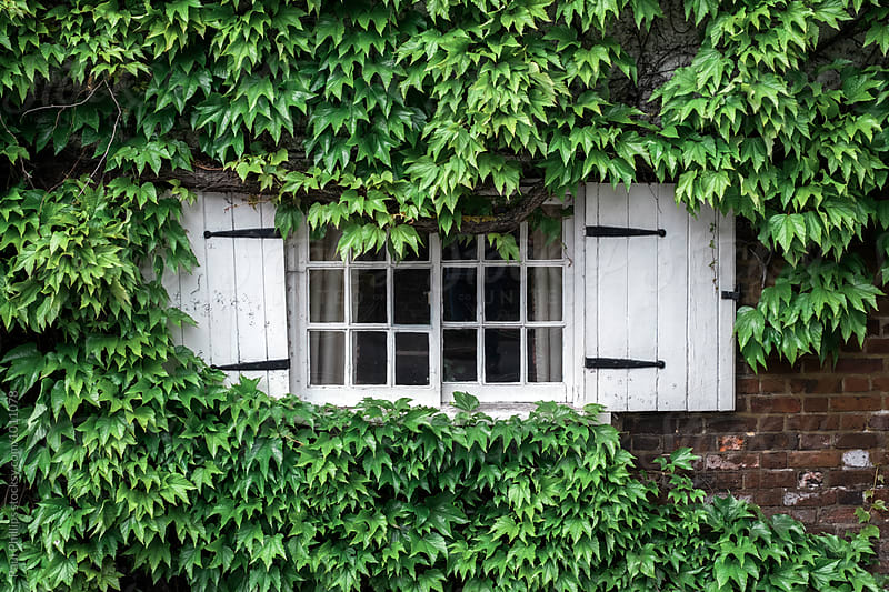Building with shuttered window almost covered with the leaves of Virginia Creeper. by Paul Phillips for Stocksy United
