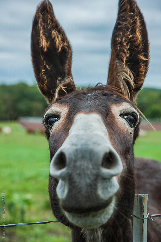 Animal Personalities: Friendly Quirky Donkey Face Close Up by Jani Bryson for Stocksy United