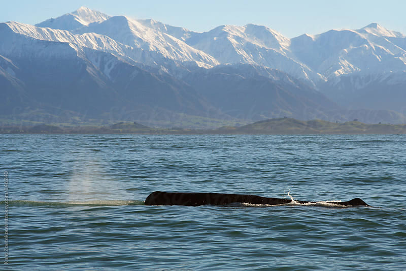 A surfacing sperm whale, seen off the coast of Kaikoura, New Zealand by Kaat Zoetekouw for Stocksy United