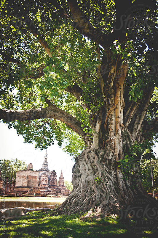 Big fig tree and temple by Sophia van den Hoek for Stocksy United