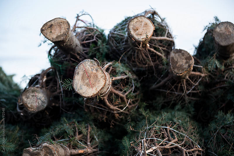 Pile of freshly cut Christmas trees for sale at a tree stand by Cara Dolan for Stocksy United