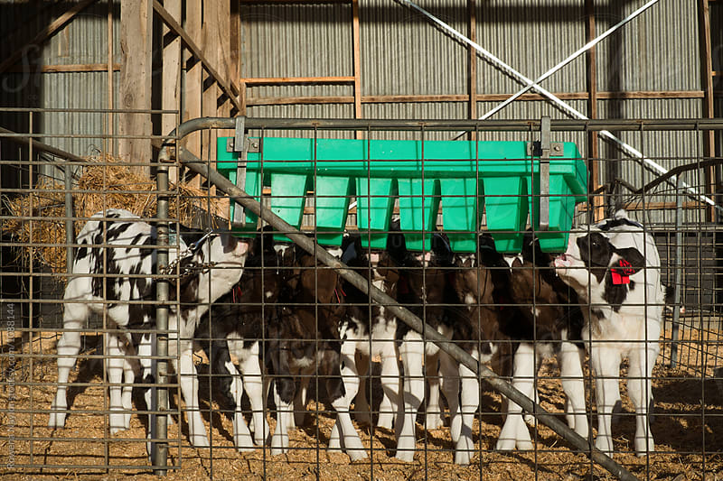 Dairy calves being fed with milk replacer by Rowena Naylor for Stocksy United