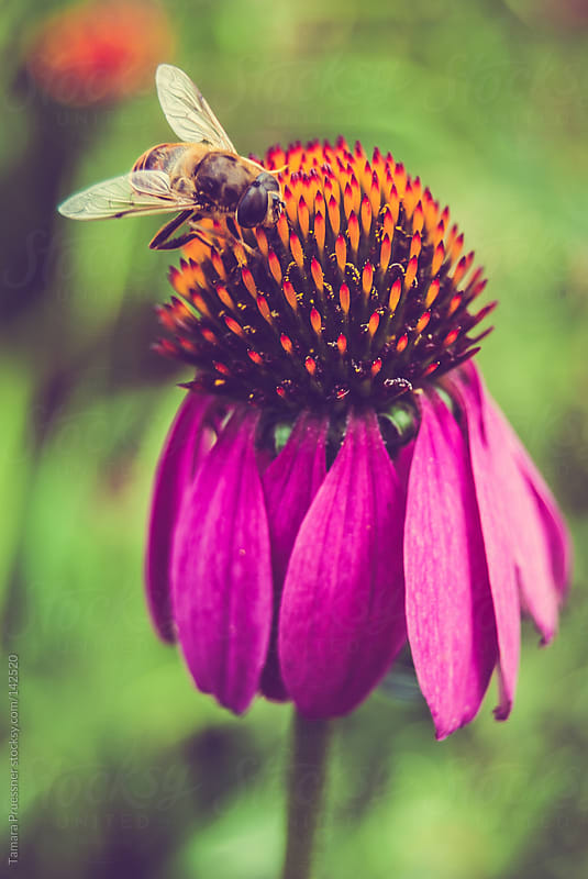 Bee On Coneflower by Tamara Pruessner for Stocksy United