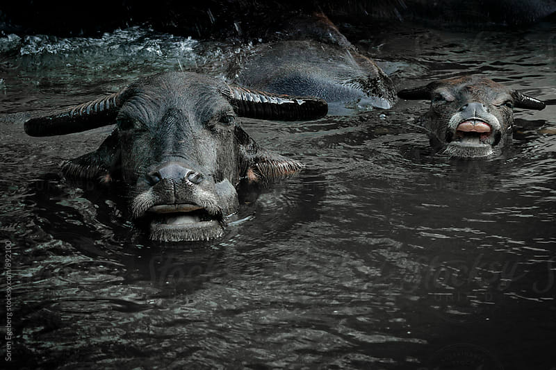 Water buffalos cooling off in a river  by Soren Egeberg for Stocksy United