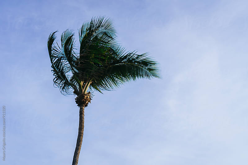Palm on Blue sky by Mauro Grigollo for Stocksy United