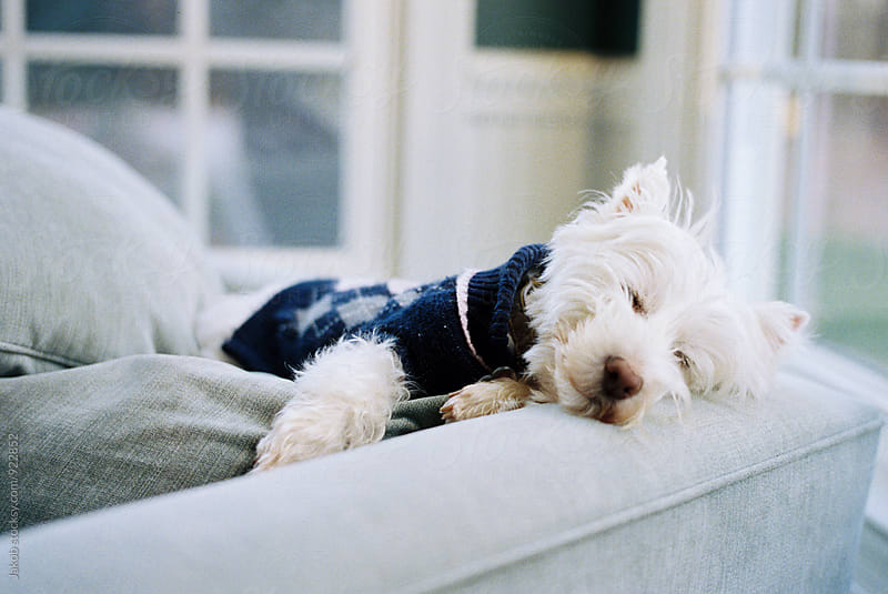 Cute white dog in a sweater taking a nap by Jakob for Stocksy United