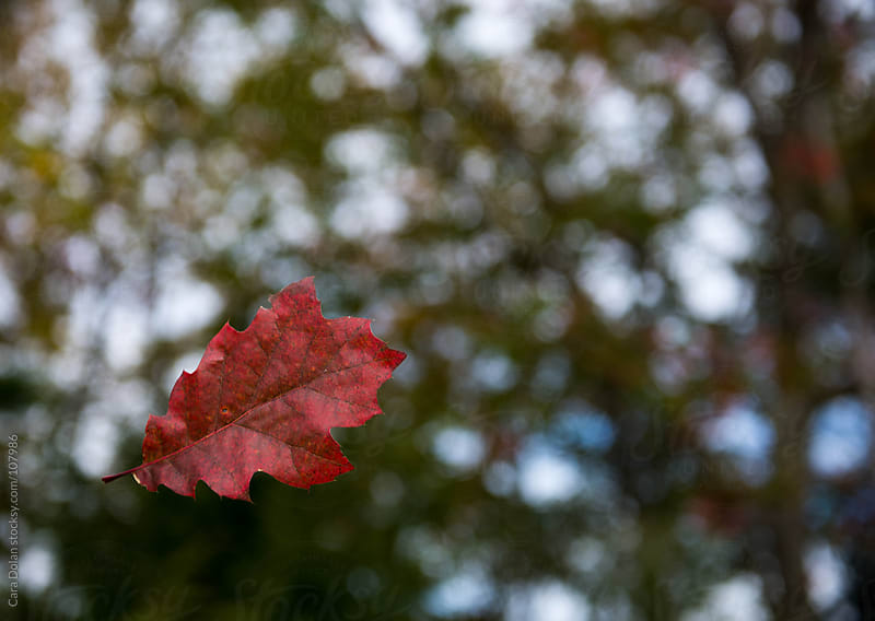 Vibrant red oak leaf falls to the ground in autumn by Cara Dolan for Stocksy United