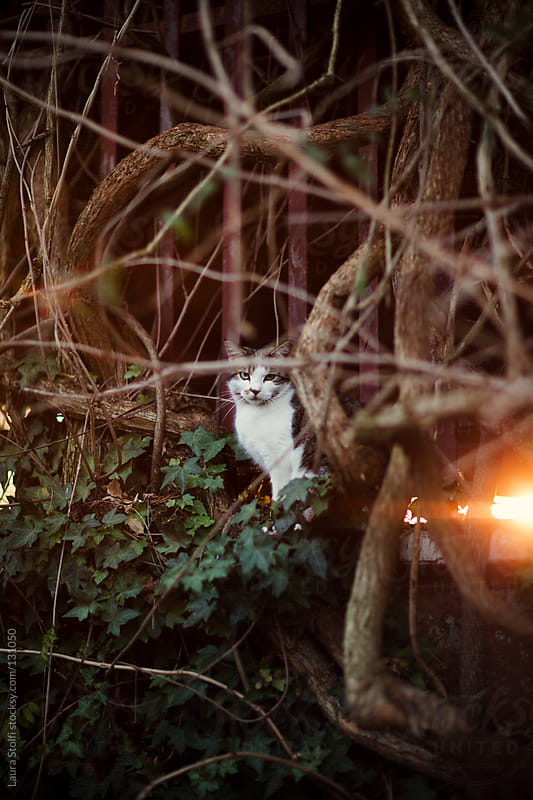 Cat looks straight at the camera in sunset light by Laura Stolfi for Stocksy United