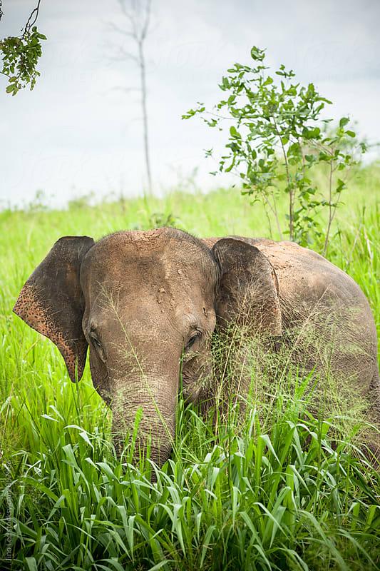 Asian Sri Lanka elephant by Jino Lee for Stocksy United