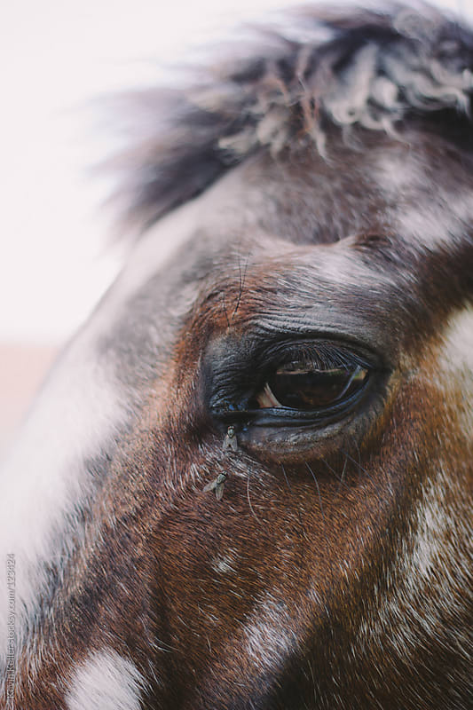 Closeup of a Horse's Face with Flies by Kevin Keller for Stocksy United