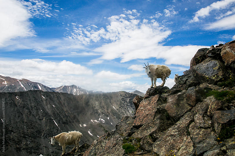 Colorado Mountain Goats by Abby Mortenson for Stocksy United