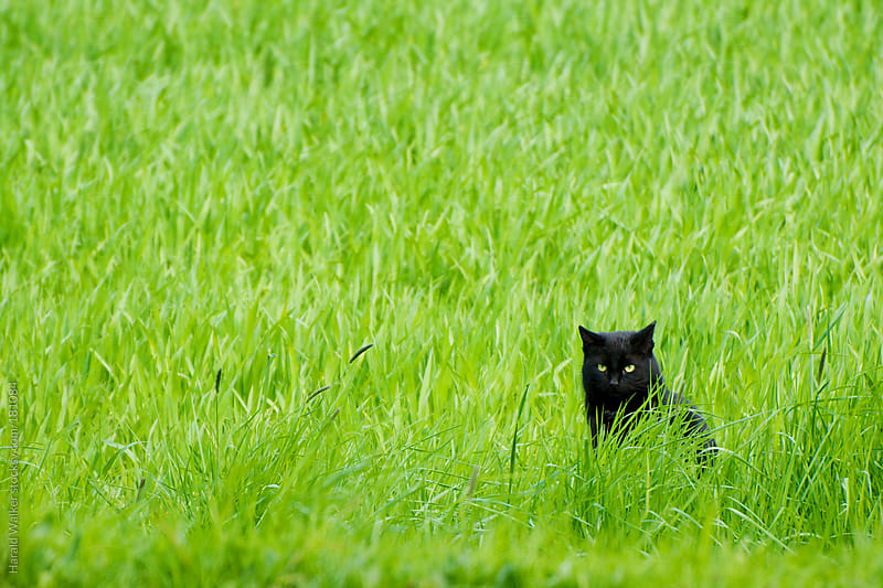 Black cat in grass by Harald Walker for Stocksy United