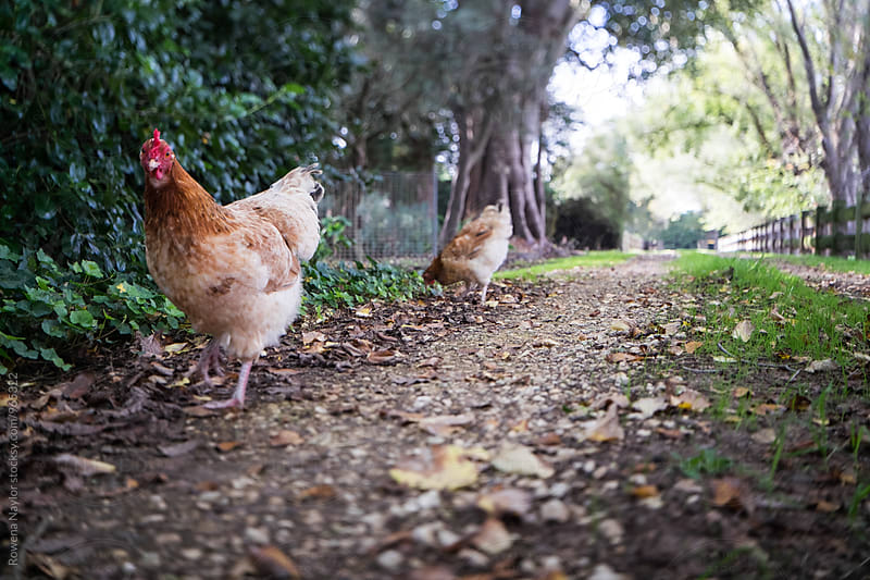 Chickens free-ranging  by Rowena Naylor for Stocksy United