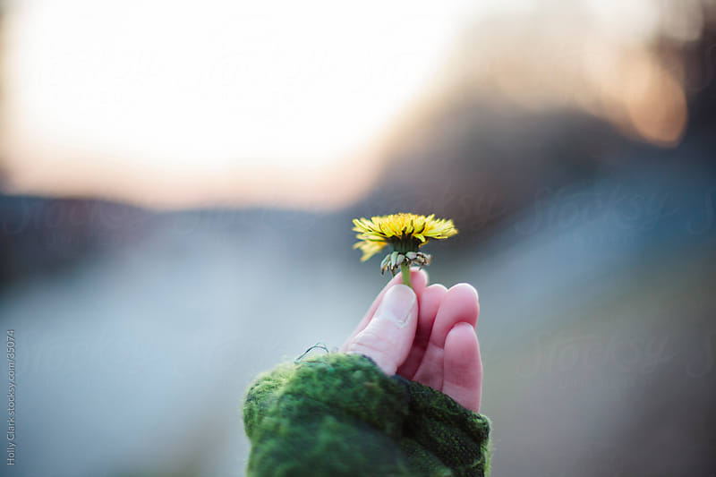 A Woman's Hand Holds a Dandelion at Twilight by Holly Clark for Stocksy United