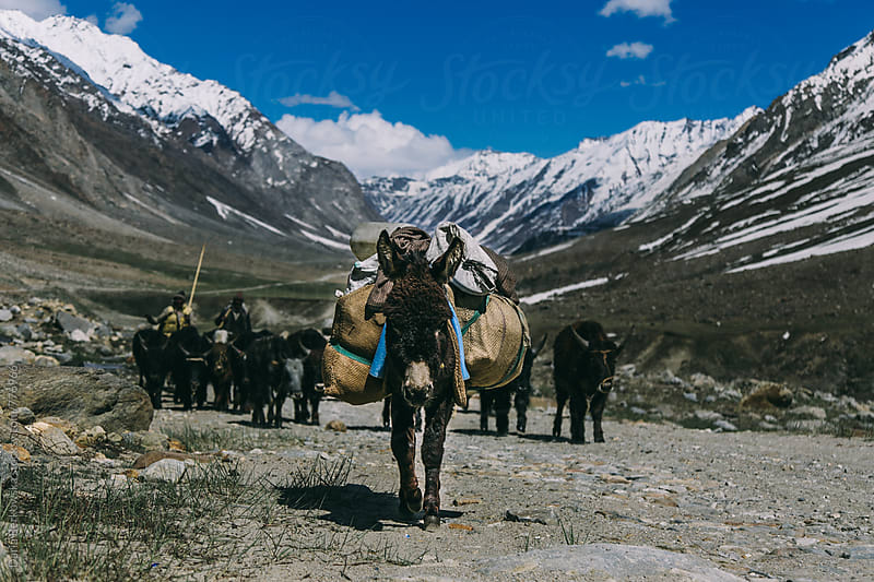 Donkey in the mountains of India by Daria Berkowska for Stocksy United