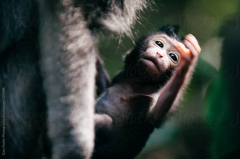Baby long-tailed macaque held by its Mother by Gary Radler Photography for Stocksy United