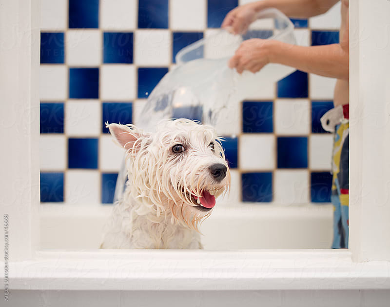 White dog enjoying a bath in a tiled bathroom by Angela Lumsden for Stocksy United