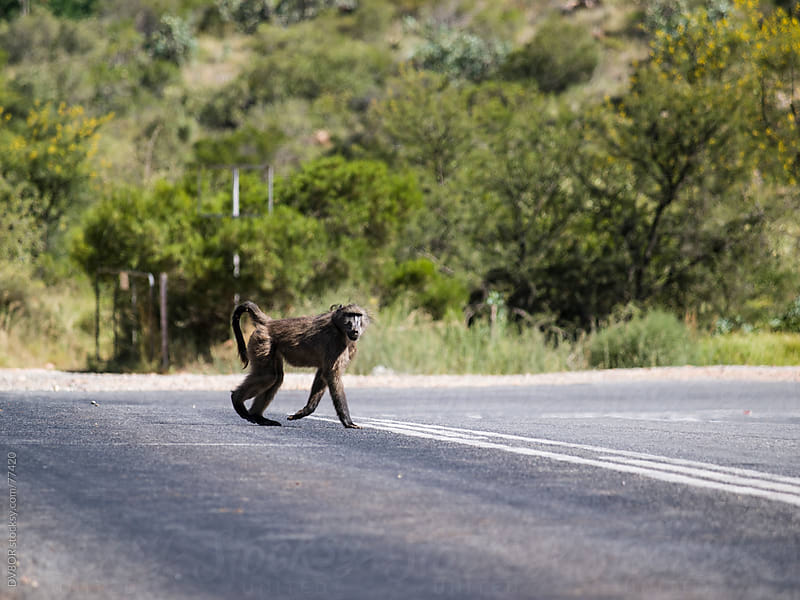 Baboon crossing a road  by DV8OR for Stocksy United