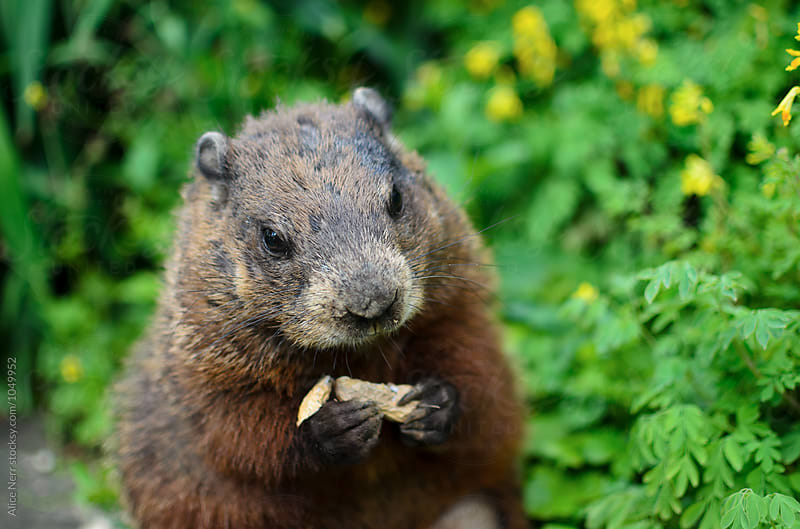 Groundhog with peanut in his paws by Alice Nerr for Stocksy United