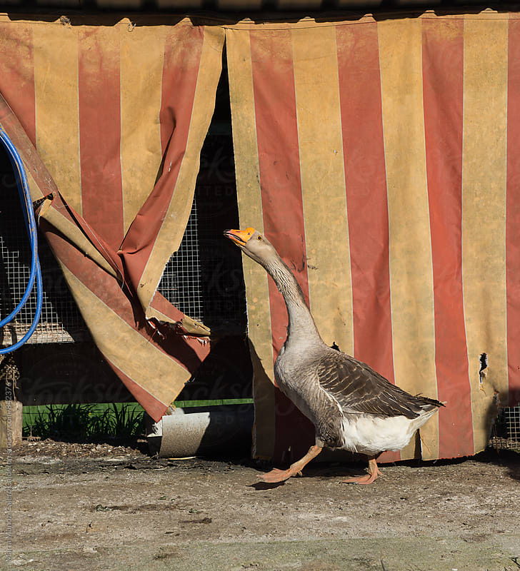 Goose with a stripes shed behind  by Marta Muñoz-Calero Calderon for Stocksy United