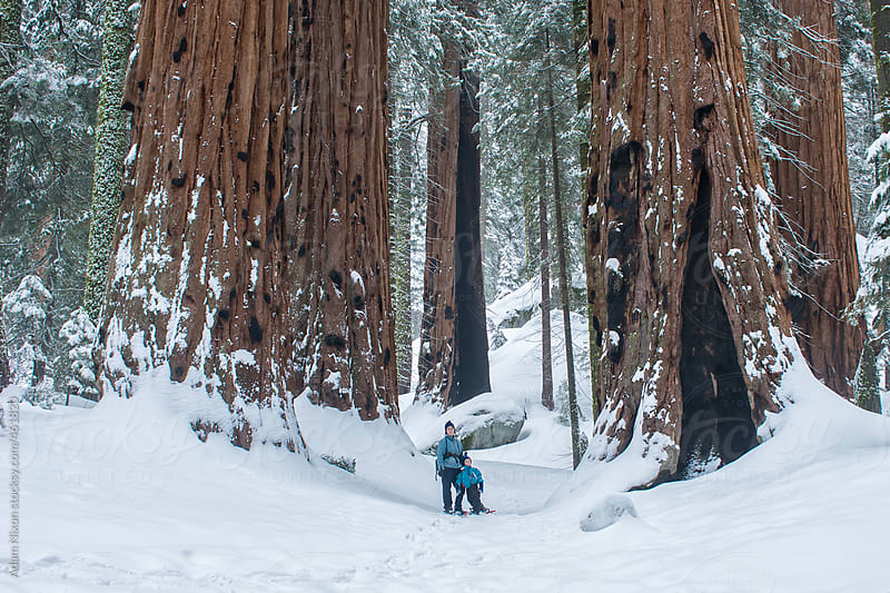 Mother and son snowshoeing between Giant Sequoia Trees by Adam Nixon for Stocksy United