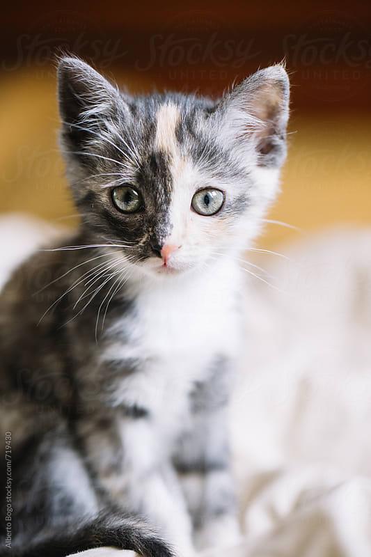 Little cat attentive by Alberto Bogo for Stocksy United