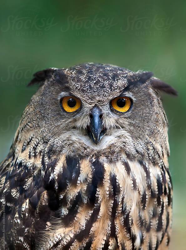 Eurasian Eagle Owl Closeup Portrait by Brandon Alms for Stocksy United
