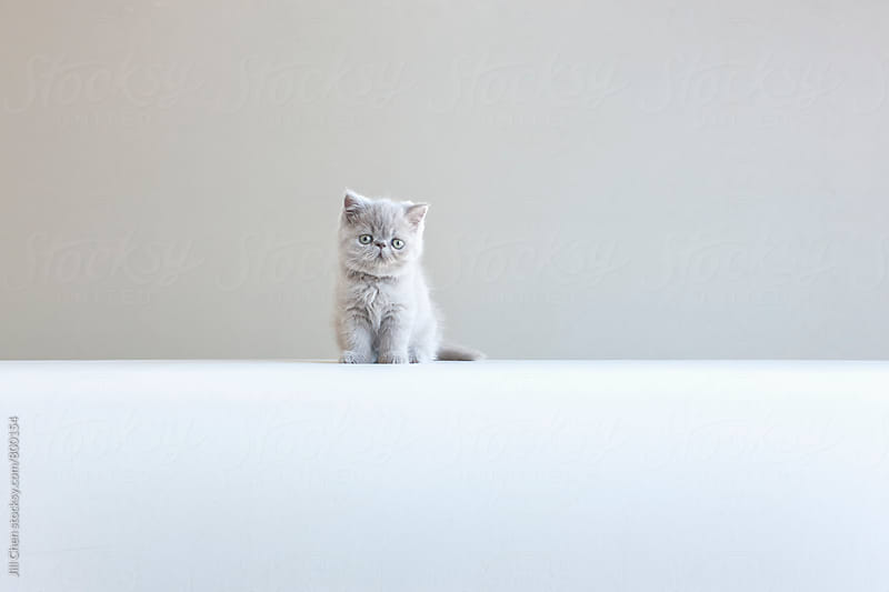 Little Gray Kitten on  Gray Background by Jill Chen for Stocksy United