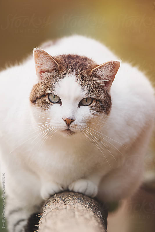 Fatty cat looking at camera by Luca Pierro for Stocksy United